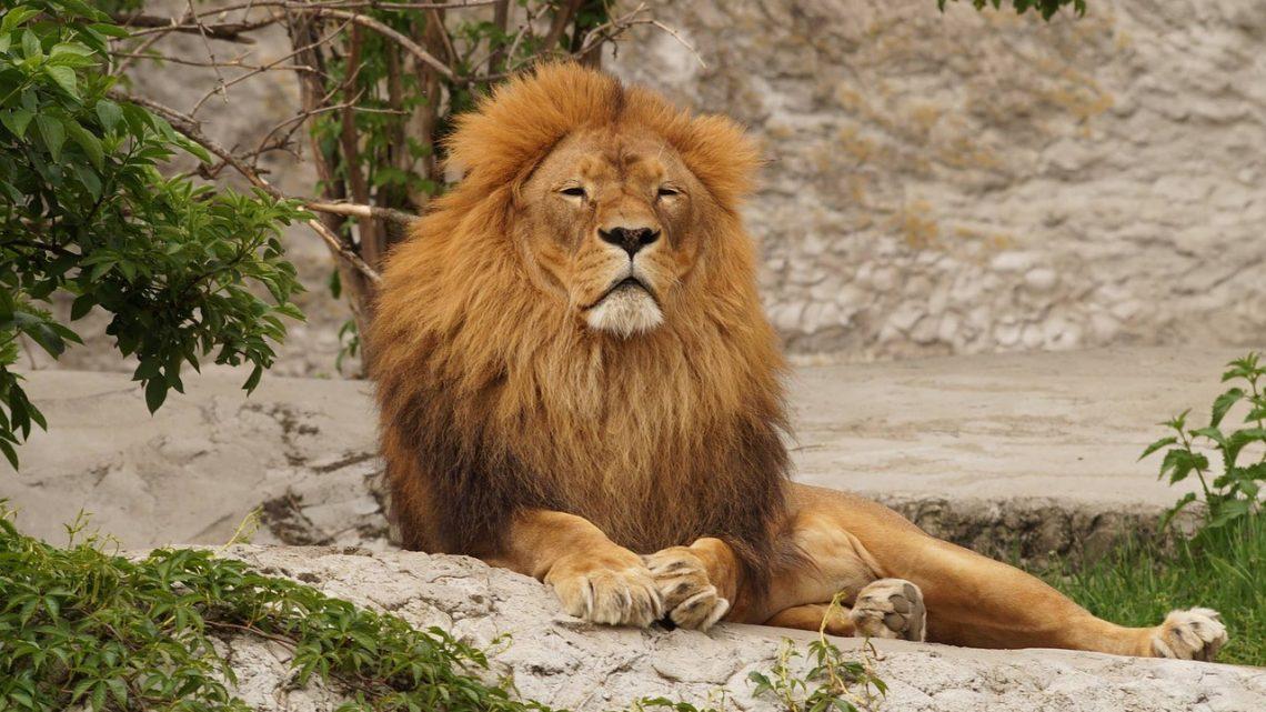 Lesbiana.es - La polémica de dos leones gays